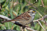 IMG_4214a White-throated Sparrow.jpg