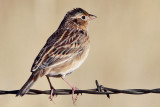 IMG_5055a Grasshopper Sparrow.jpg