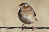 IMG_5078a Grasshopper Sparrow.jpg