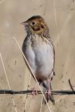 IMG_5133a Baird's Sparrow.jpg