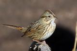 IMG_4493a Lincoln's Sparrow.jpg