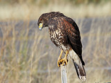 IMG_5385 Harris's Hawk juvenile.jpg