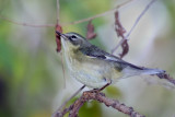 IMG_5323a Black-throated Blue Warbler female.jpg