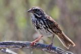 IMG_4694a Song Sparrow.jpg