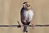 IMG_4990a Baird's Sparrow.jpg