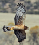 IMG_5837a Northern Harrier female.jpg