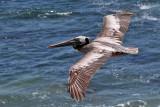 IMG_4401a Brown Pelican.jpg
