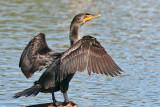 IMG_6423 Double-crested Cormorant.jpg