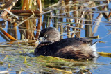 IMG_7188 Pied-billed Grebe.jpg