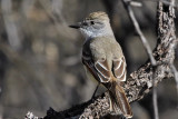IMG_7889 Ash-throated Flycatcher.jpg