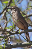 IMG_3517 Curve-billed Thrasher.jpg