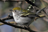 IMG_8993 Chestnut-sided Warbler female.jpg