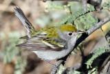IMG_8934  Chestnut-sided Warbler female.jpg