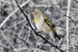 IMG_9166 Lawrence's Goldfinch .jpg
