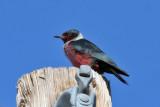 IMG_0045a Lewis's Woodpecker.jpg