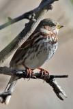 IMG_9727  Fox Sparrow.jpg