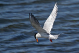 IMG_3725a Forster's Tern .jpg