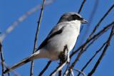 IMG_5564a Loggerhead Shrike.jpg