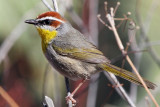 IMG_1374 Rufous-capped Warbler.jpg