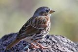 IMG_1398 Red Fox Sparrow.jpg