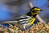 IMG_1190 Townsend's Warbler - male.jpg