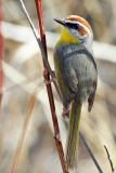 IMG_1348 Rufous-capped Warbler.jpg