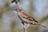 IMG_1874 House Sparrow female.jpg