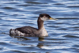 IMG_1879 Red-necked Grebe.jpg