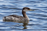 IMG_1877 Red-necked Grebe.jpg