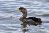 IMG_1599 Cormorant - juvenile.jpg