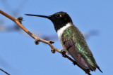 IMG_2641 Black-chinned Hummingbird.jpg