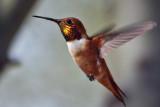 IMG_2657 Rufous Hummingbird male.jpg