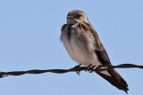 IMG_8759 Northern Rough-winged Swallow.jpg
