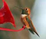 IMG_8877a Rufous Hummingbird male.jpg