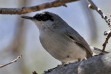 IMG_9934 Black-capped Gnatcatcher male.jpg