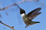 IMG_2646 Black-chinned Hummingbird male.jpg
