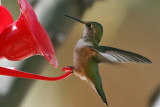 IMG_0248 Rufous Hummingbird female.jpg