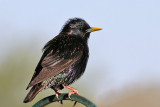 IMG_0089 European Starling breeding male.jpg