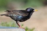 IMG_0967 European Starling  breeding female.jpg