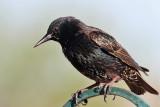 IMG_0097 European Starling non-breeding.jpg