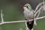 IMG_1285 Broad-billed Hummingbird female.jpg