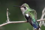 IMG_1297 Broad-billed Hummingbird female.jpg