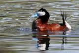 IMG_1590 Ruddy Duck breeding male.jpg