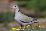 IMG_0996 Eurasian Collared Dove.jpg