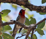 IMG_2431a Red-faced Warbler.jpg