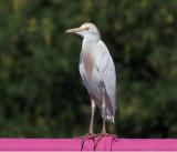 IMG_3617 Cattle Egret.jpg