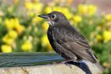 IMG_3720 European Starling juvenile.jpg