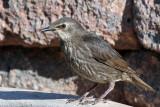 IMG_3730 European Starling juvenile.jpg