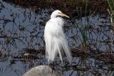 IMG_1496 Great Egret.jpg