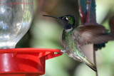 IMG_4227 Magnificent Hummingbird male.jpg